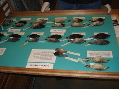 Gorrriones de Darwin en la Academia de Ciencias de California.